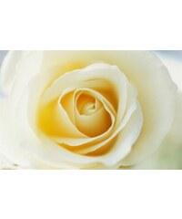Leinwandbild Yellow Rose 118/78 cm HOME AFFAIRE gelb