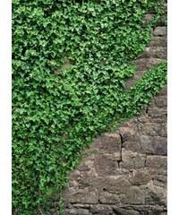 KOMAR Fototapete Ivy 184/254 cm grün