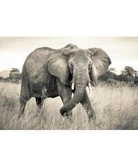 KOMAR Vlies Fototapete Elephant 368/248 cm grau