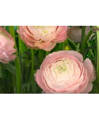 KOMAR Fototapete Gentle Rose 368/254 cm