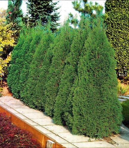 Hecke »Lebensbaum Smaragd«