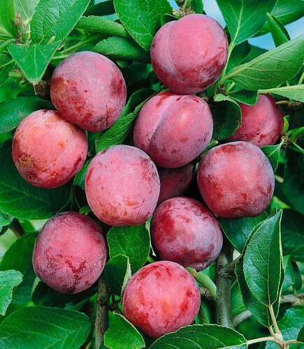 Obstbaum »Pflaume Opal«