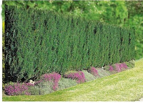 Hecke »Lebensbaum Brabant«