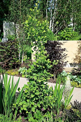 Fächerblattbaum Troll, 60 cm